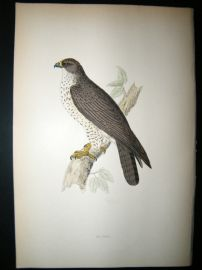 Morris 1870 Antique Hand Col Bird Print. Buzzard